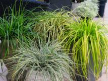 Graminées Globe Planter