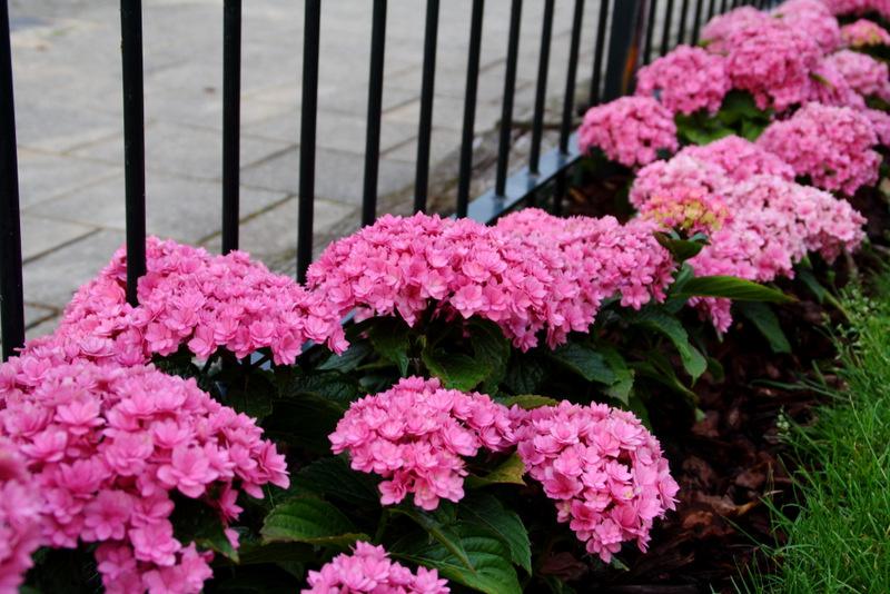 Les hortensias Globe Planter : Rondeur et générosité