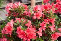 Azalées ENCORE® Globe Planter - Des fleurs deux à trois fois par an
