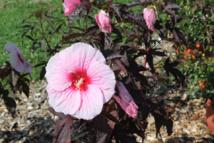 Hibiscus CARROUSEL® Globe Planter - Un feuillage rare et sombre qui apporte un contraste unique
