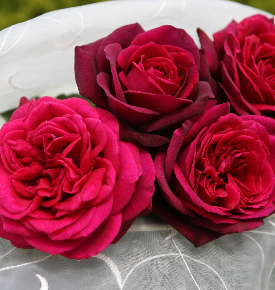 GLOBE PLANTER - Parfuma - Des rosiers parfumés et résistants aux maladies