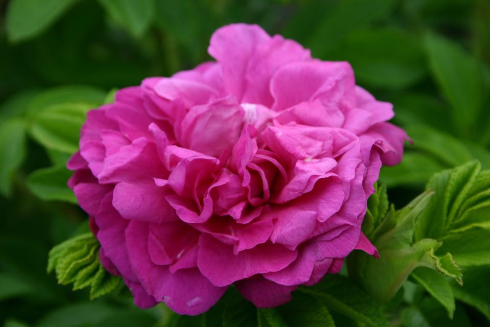 GLOBE PLANTER - ROSIERS parfumés SAVORANOVA® - Le plaisir gustatif au jardin