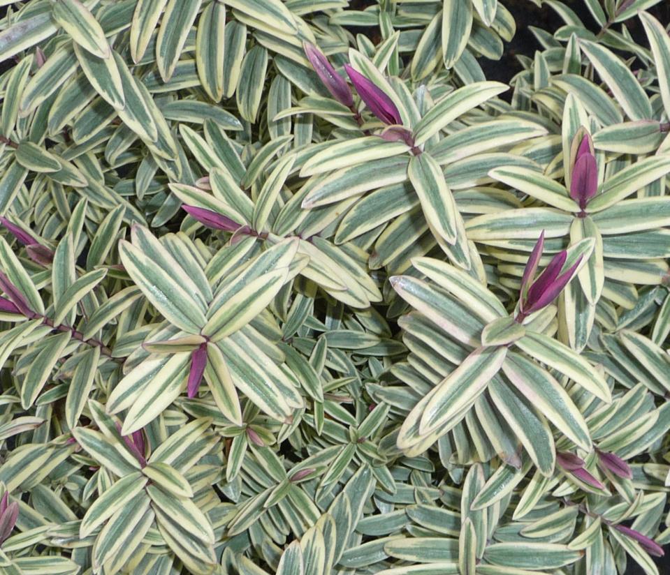 COLLECTION® Globe planter - Véroniques arbustives (Hebe) - Un feuillage élégant toute l'année
