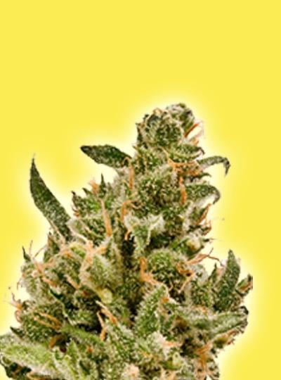 Les différentes variétés de graines de cannabis et leurs caractéristiques