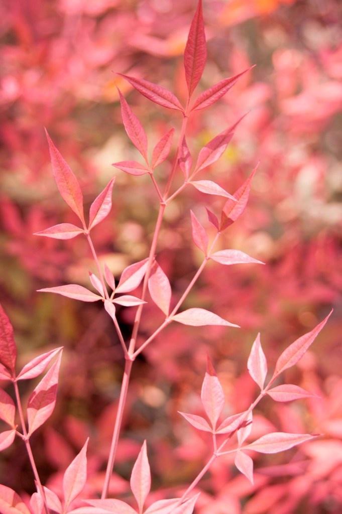GLOBE PLANTER : Nandina Domestica – Bambous sacrés - Pour un jardin zen