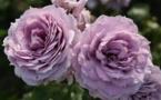 Les rosiers parfumés Globe Planter - Le jardin se met aux parfums
